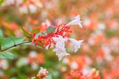 Fermez-vous vers le haut de la vue des fleurs d'Abelia Photographie stock libre de droits