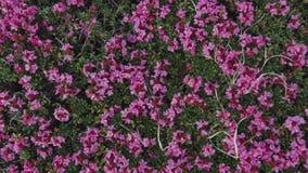 Fermez-vous vers le haut de la vue des fleurs roses de montagne dans les montagnes Nature pure Beauté de nature Fleurs de florais banque de vidéos