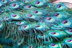 Fermez-vous vers le haut de la vue des plumes de paon dans le plein plumage images libres de droits