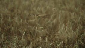 Fermez-vous vers le haut de la vue du champ de blé d'or Tir au ralenti clips vidéos