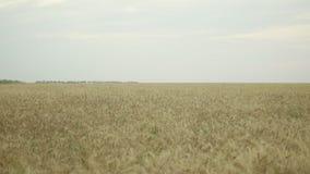 Fermez-vous vers le haut de la vue du champ de blé d'or Tir de mouvement lent clips vidéos