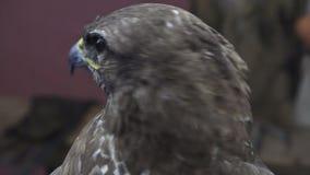 Fermez-vous vers le haut de la vue du faucon prédateur d'oiseau de chasse principale banque de vidéos