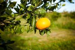 Fermez-vous vers le haut de la vue du fruit orange sur la branche d'arbre Image stock