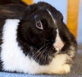 Fermez-vous vers le haut de la vue du lapin d'animal familier Image libre de droits