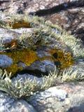 Fermez-vous vers le haut de la vue du lichen sur des roches à l'île de Skye Photos libres de droits