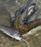 Fermez-vous vers le haut de la vue du truite arc-en-ciel Photos stock