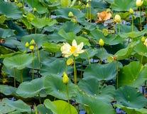 Fermez-vous vers le haut de la vue de la fleur ouverte de nénuphar sur Carter Lake Iowa photographie stock libre de droits