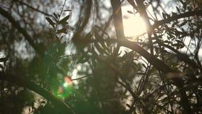Fermez-vous vers le haut de la vue de l'arbre vert de branche d'olivier avec des rayons du soleil à l'arrière-plan banque de vidéos