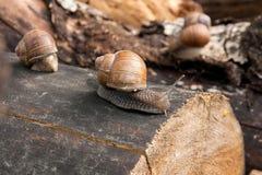Fermez-vous vers le haut de la vue de l'hélice d'escargot de Bourgogne, escargot romain, snai comestible Image libre de droits