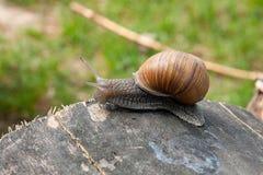 Fermez-vous vers le haut de la vue de l'hélice d'escargot de Bourgogne, escargot romain, snai comestible Images stock