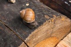 Fermez-vous vers le haut de la vue de l'hélice d'escargot de Bourgogne, escargot romain, snai comestible Photo libre de droits