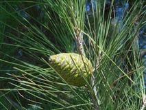 Fermez-vous vers le haut de la vue pour verdir le cône sur l'arbre photographie stock libre de droits