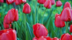 Fermez-vous vers le haut de la vue sur les tulipes rouges s'élevant dans le jardin Foyer sélectif sur de belles tulipes rouges fl banque de vidéos