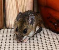 Fermez-vous vers le haut de la vue de visage d'une souris de maison grise sauvage, musculus de Mus, dans un buffet avec des pots  photos stock