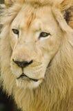 Fermez-vous vers le haut de Lion Face image stock