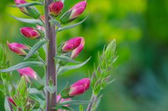 Fermez-vous vers le haut de loup sauvage en fleur rouge et pourpre avec les feuilles vertes image libre de droits