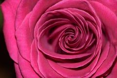 Fermez-vous vers le haut de Rose Images stock