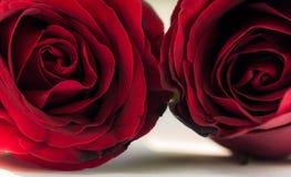 Fermez-vous vers le haut de Rose rouge Photo libre de droits