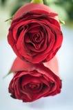 Fermez-vous vers le haut de Rose rouge Images stock