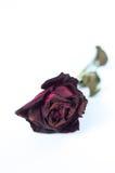 Fermez-vous vers le haut de Rose rouge Photographie stock libre de droits