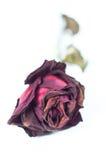 Fermez-vous vers le haut de Rose rouge Image libre de droits