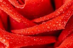 Fermez-vous vers le haut de Rose rouge Images libres de droits