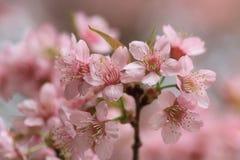 Fermez-vous vers le haut de Sakura rose Images libres de droits