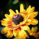 Fermez-vous vers le haut de Susan Flower observée par noir jaune d'or vibrant photo stock