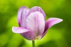 Fermez-vous vers le haut de Tulip Flower pourpre Images libres de droits