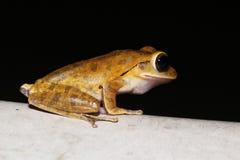 Fermez-vous vers le haut des amphibies communs de grenouille d'arbre et du x28 ; Leucomystax& x29 de Polypedates ; b images stock