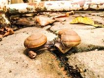 Fermez-vous vers le haut des baisers de deux escargots Photos libres de droits