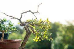 Fermez-vous vers le haut des bonsaïs avec le bokeh léger Photographie stock