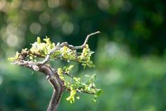 Fermez-vous vers le haut des bonsaïs avec le bokeh léger 2 Photos stock