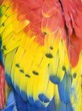 Fermez-vous vers le haut des clavettes de macaw d'écarlate, Costa Rica Photos libres de droits
