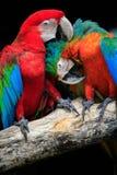 Fermez-vous vers le haut des couples de beau des oiseaux d'ara d'écarlate peaning et Photographie stock