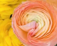 Fermez-vous vers le haut des détails en fleur de Ranunculus le blanc de rose de pêche et au YE Photo stock