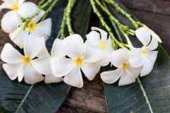 Fermez-vous vers le haut des espèces blanches et jaunes de Plumeria (fleurs de frangipani, ATF Image stock