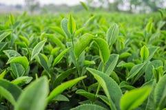Fermez-vous vers le haut des feuilles de thé Images stock