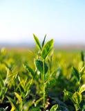 Fermez-vous vers le haut des feuilles de thé fraîches en lumière du soleil de matin. Images stock