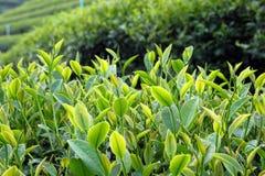 Fermez-vous vers le haut des feuilles de thé fraîches pendant le matin Image stock