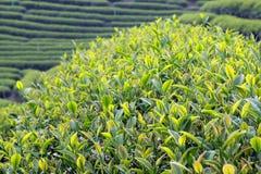Fermez-vous vers le haut des feuilles de thé fraîches pendant le matin Image libre de droits