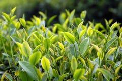 Fermez-vous vers le haut des feuilles de thé fraîches pendant le matin Photos libres de droits