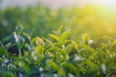 Fermez-vous vers le haut des feuilles de thé vertes dans la plantation de thé avec le bokeh et la lumière du soleil pendant le ma photos libres de droits