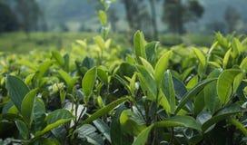 Fermez-vous vers le haut des feuilles de thé vertes dans le jardin sur la plantation photo libre de droits
