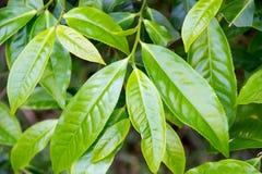 Fermez-vous vers le haut des feuilles de thé vertes supérieures Image libre de droits