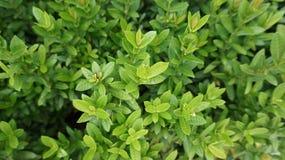 Fermez-vous vers le haut des feuilles vertes Photographie stock