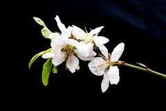 Fermez-vous vers le haut des fleurs blanches d'amande photos stock