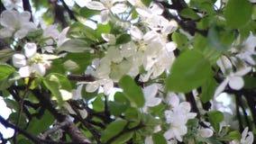 Fermez-vous vers le haut des fleurs blanches de fleur de pomme arbre de floraison Malus banque de vidéos