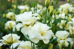 Fermez-vous vers le haut des fleurs blanches de Lisianthus dans le jardin Images libres de droits