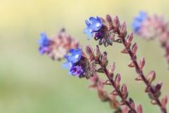 Fermez-vous vers le haut des fleurs bleues Photographie stock